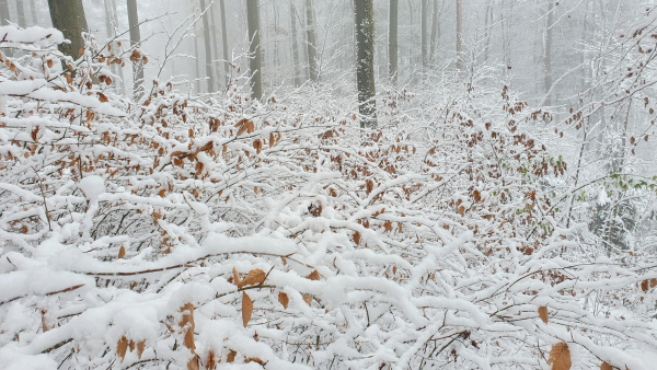 Buchen-Naturverjüngung im Schnee (Aufnahme Julian Graf)
