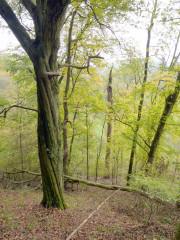 Habitatbaumgruppe (Aufnahme Christian Feldmann)