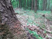 Bohrmehl am Wurzelanlauf der Fichte (Aufnahme Jörn Hartmann)